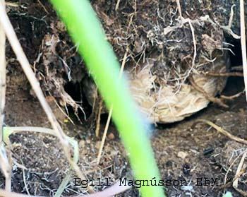 Geitungabú holugeitungsins